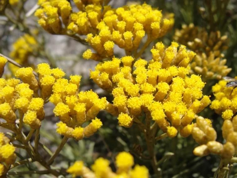 L'hélichryse, la plante aux propriétés exceptionnelles.