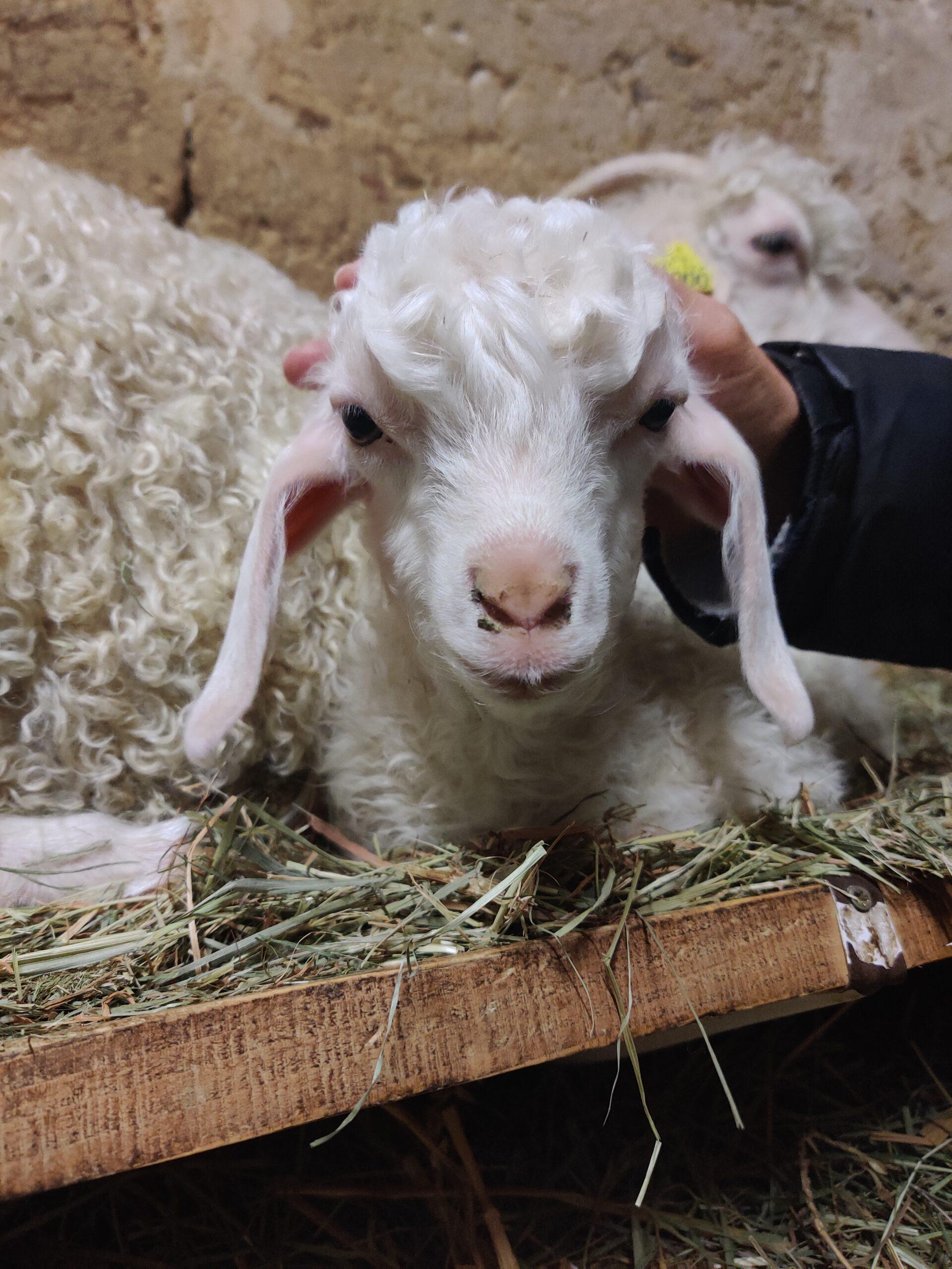 J'ai parrainé une petite chèvre Angora!